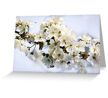 Blossoming sweet cherry Greeting Card