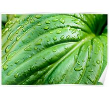 Hosta Leaf with Rain Drops Poster