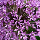Allium close up by naturalimages