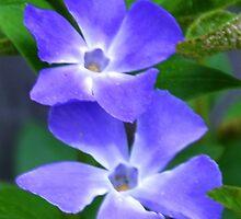 Periwinkle Flowers.. by lynn carter