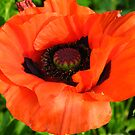 Red poppy by naturalimages