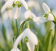 Snowdrops by John Burtoft