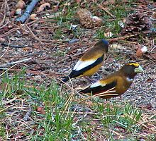 Grosbeaks by Edward Henzi