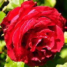 Red rose by Finbarr Reilly