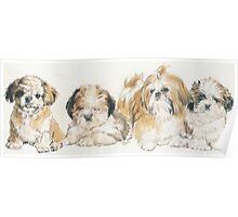 Shih Tzu Puppies Poster
