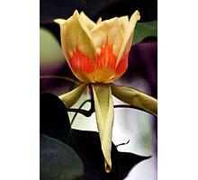 Tulip Poplar Photographic Print