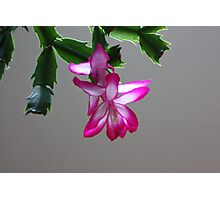 Christmas Cactus in May Photographic Print
