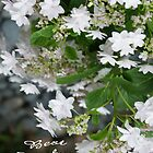 Love, Lace (Hydrangea White Lacecap) Congratulations! by leih2008
