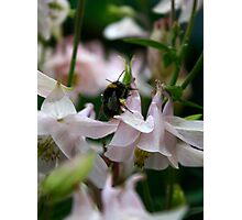 Aquilegia and bee Photographic Print