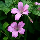 Pink geraniums by Bev Evans