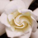 Gardenia by tserio