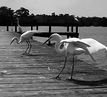 Dance of the Egrets by AngelPhotozzz