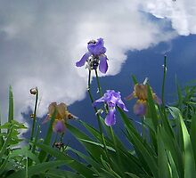 Iris Skies by Sunflwrconcepts