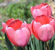 Four Pink Tulips by Kathleen Brant