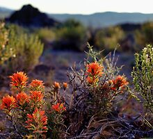 Palomino Valley Indian Paintbrush by SB  Sullivan