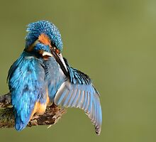 Kingfisher preening by Peter Wiggerman