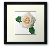 Gentle white rose Framed Print