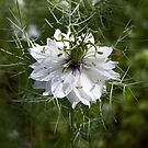 Love in a mist by David Clarke