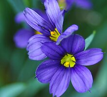 Blue-eyed grass 216 by mltrue
