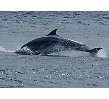 Dolphin Roll Photographic Print