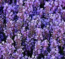 Lavenders Design by caitfroz24