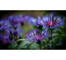 Cornflowers Photographic Print