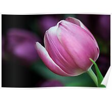Pink Tulip with Purple Background Poster