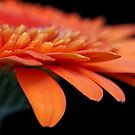 Orange Gerbera by RA-Photography
