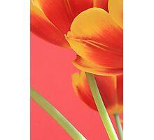 Pastel Tulips Photographic Print