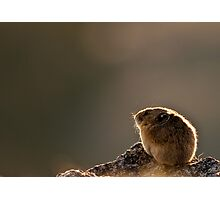 Backlit Pika Photographic Print