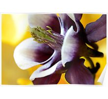 Purple and Yellow Aquilegia Poster