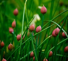 Chives by Jeannette Sheehy