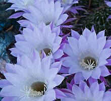 Echinopsis Blossoms by Linda Gregory