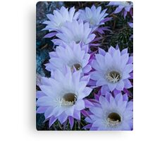 Echinopsis Blossoms Canvas Print