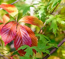 Red Virginia Creeper and Maple Leaves by MaxalTamor