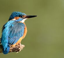 Kingfisher (Alcedo atthis) - I by Peter Wiggerman