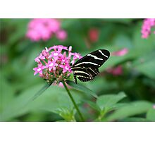 Zebra Longwing Photographic Print