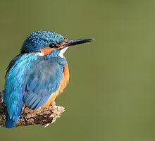 Kingfisher (Alcedo atthis) - II by Peter Wiggerman