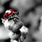 LadyBird by Charlotte Harold