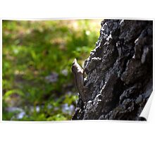 Male Cuban Brown Anole Poster