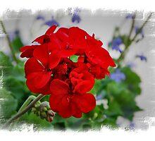 Red Geranium by cdudak