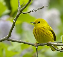 Yellow_Warbler by gregsmith