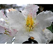 Delicious Rhododendron Photographic Print