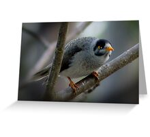 Noisy Miners, Australian native bird. Greeting Card