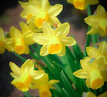 Spring flowers - narcissus by komashyaru