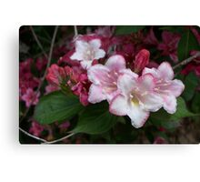 Spring Pinks - Carnival Wigelia 5 Canvas Print