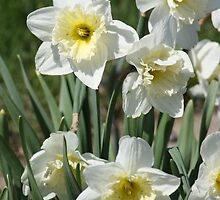 White Daffodils by Alyce Taylor