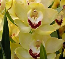 Glorious Orchids by Patty Boyte