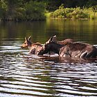 Cow Moose With Calf by mooselandtours