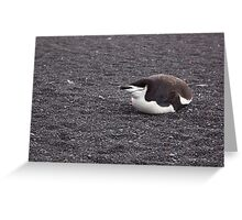 Pretty Chinstrap Penguin